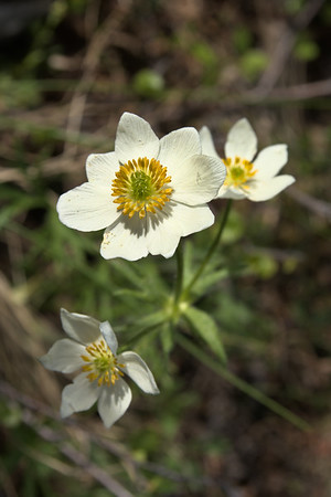 narcissus-flowered anemone on Ester Dome in Fairbanks, Alaska