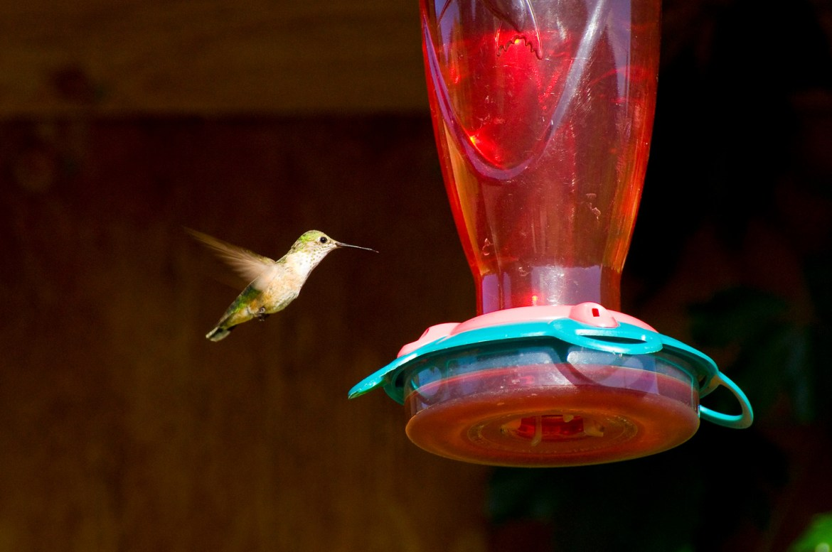 A hummingbird flies to drink from a red feeder.  The bird's colorful wings contrast against a dark background in the mountains of Idaho, USA.