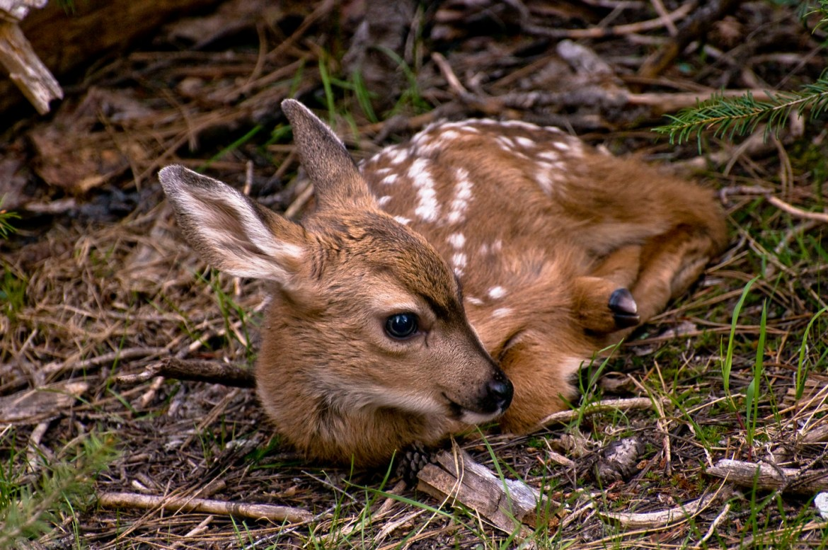 A baby fawn reclines in the grass and sticks in Oregon's Eagle Cap Wilderness in the Western United States.