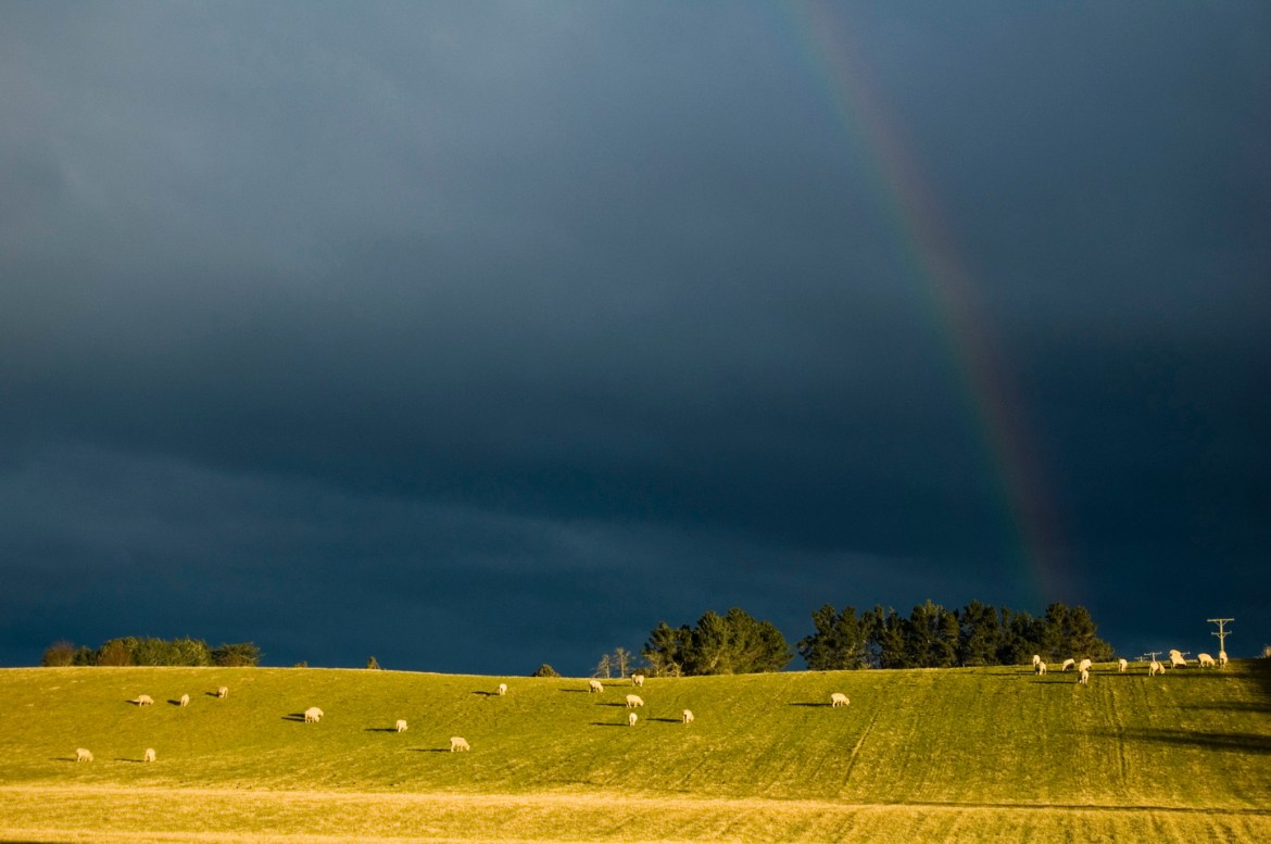 A wide-angle photo of sheep in a rural New Zealand paddock under a dark sky and rainbows.