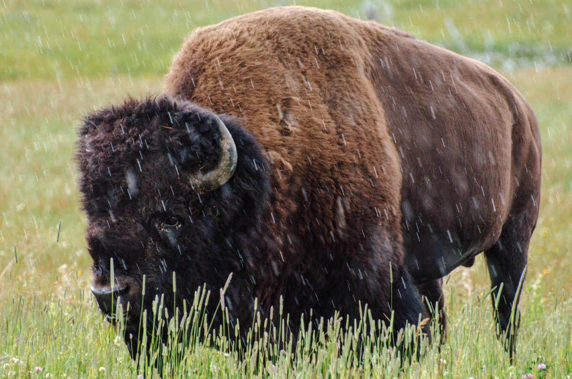 A photo of a large American Bison as it wanders and grazes in an open field inside Yellowstone National Park, Wyoming.
