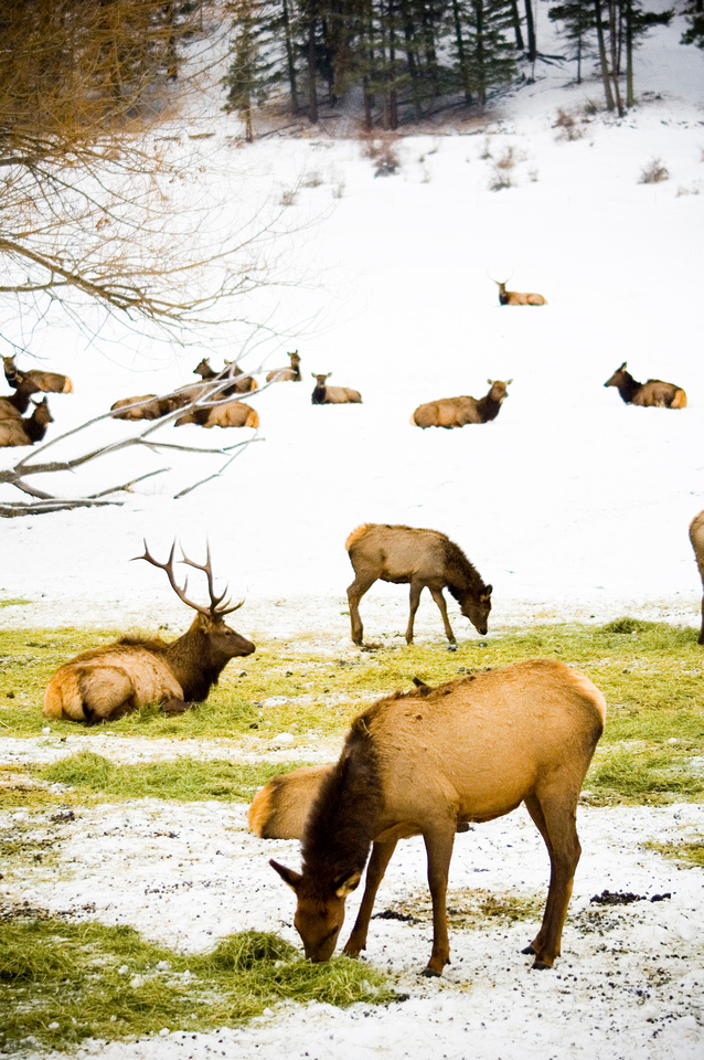 Elk bedded down in the snow at a winter feeding station near Baker City, Oregon, USA.