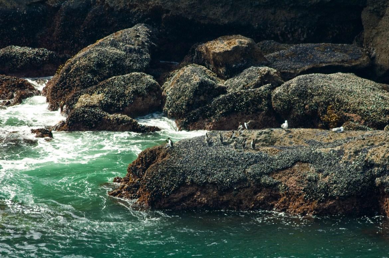 Image Bank: Coastal Landscapes. Coastal birds among rocks and barnacles along the Oregon Coast in the Pacific Northwest of the United States.