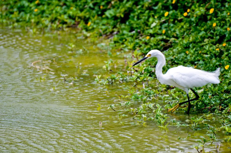 A white Snowy Egret in Playa del Carmen, Mexico, on the Yucatan Peninsula.
