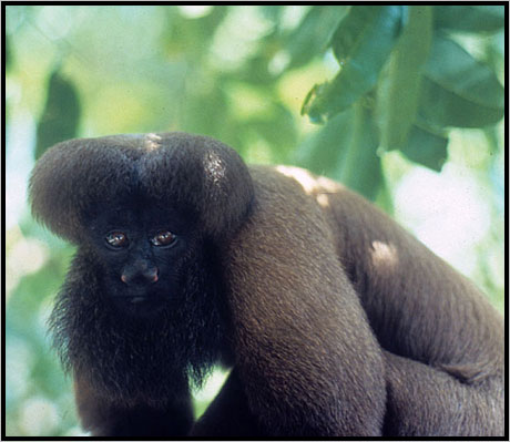 Uta Hick's bearded saki ( Chiropotes utahicki).Photo courtesy of International Rivers.