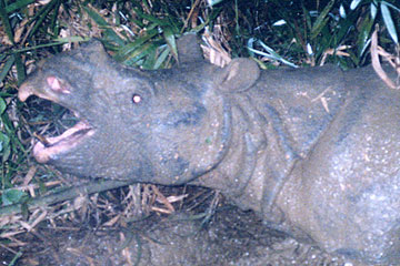 Close up of Vietnamese rhino. Photo courtesy of WWF.