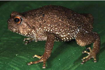 New frog from Tanzania's Eastern Arc Mountains: Callulina stanleyi