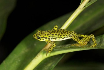 The rediscovered Rio Pescado Stubfoot Toad (<i>Atelopus balios</i>) was number 6 in the 100 Lost Frogs. Uncovered after 15 years in Ecuador by Eduardo Toral-Contreras and Elicio Tapia. Researchers feared that the deadly amphibian chytridmycosis had wiped out this species along with many other closely related species in Ecuador. Photo: © Eduardo Toral-Contreras .