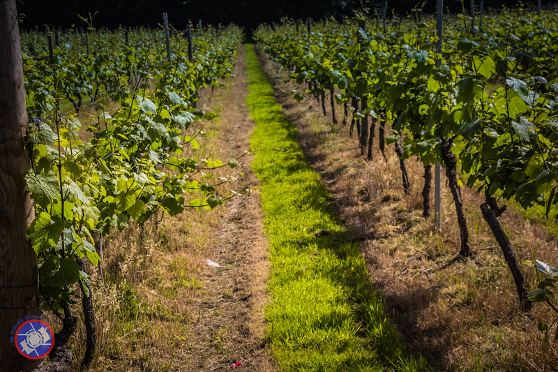 Closer View of the Vines at a'Beckett Vineyard Used for Making English Wine(©simon@myeclecticimages.com)