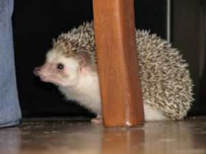 Quillson: Hedgehog, Hedgehog; Burnaby, BC