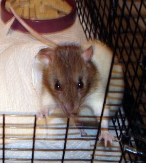 Lacy: Rat, Rat; Vancouver, BC