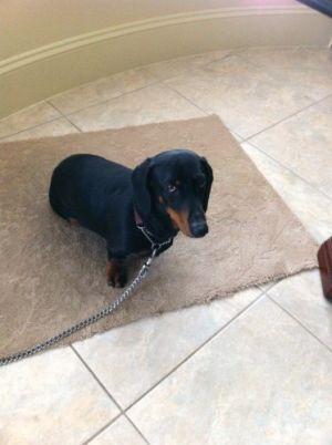 Wrinkles: Dachshund, Dog; Burnaby, BC