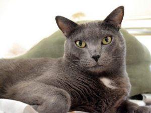 Iris: Chartreux, Cat; Elk Grove, CA