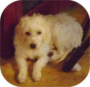 NJ - Lacey: Poodle, Dog; Lincroft, NJ