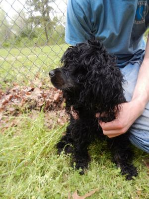 RI - BELLA: Cocker Spaniel, Dog; West Warwick, RI