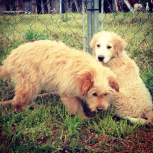 NJ - Curly: Golden Retriever, Dog; Bordentown, NJ