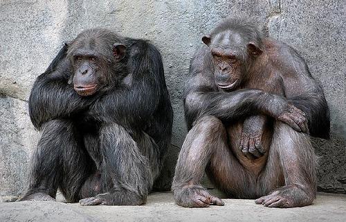 https://i2.wp.com/photos.pouryourheart.com/wp-content/uploads/2018/12/Chimpanzees.jpg?w=640