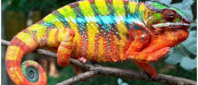 Best Photos of Panther Chameleons