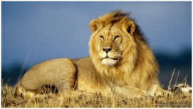 Lion Wallpapers Images 2018