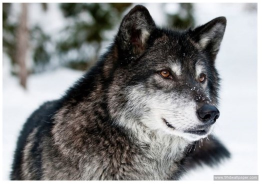Wolf HD Wallpapers full wide
