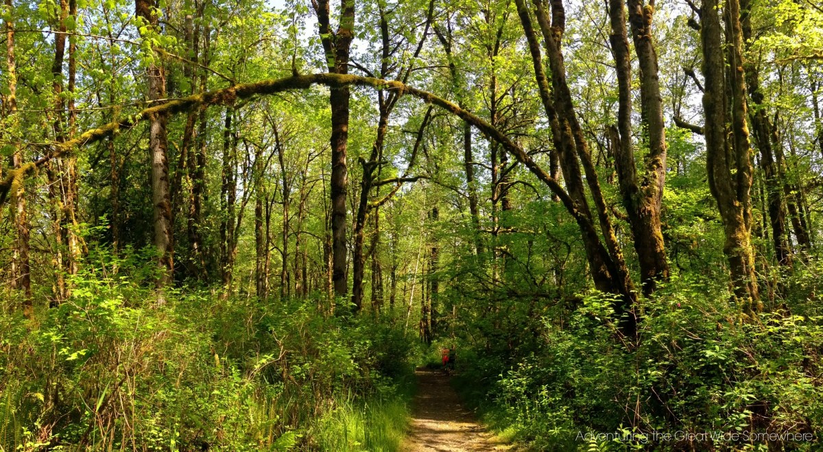 Beautifully Curved Tree Over the Puget Loop Birding Trail at John MacDonald Memorial Campground