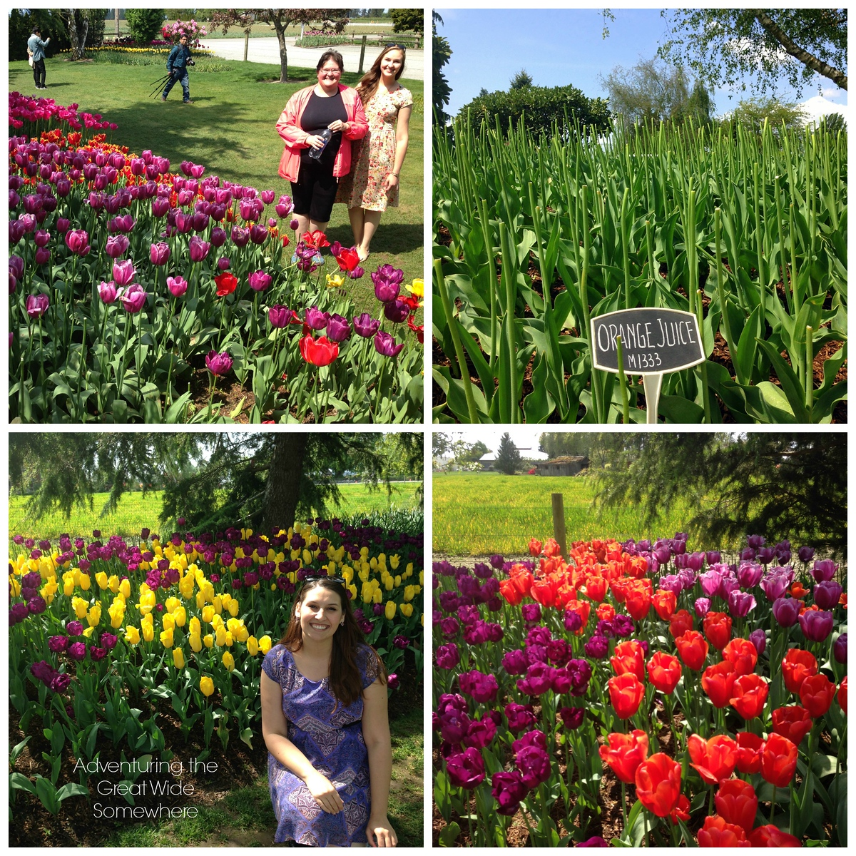Various Blooms Seen at the Skagit Valley Tulip Festival's Most Popular Site, RoozenGaarde