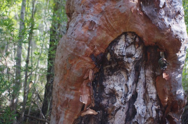 Close up of gnarled gum tree trunk with green trees beyond