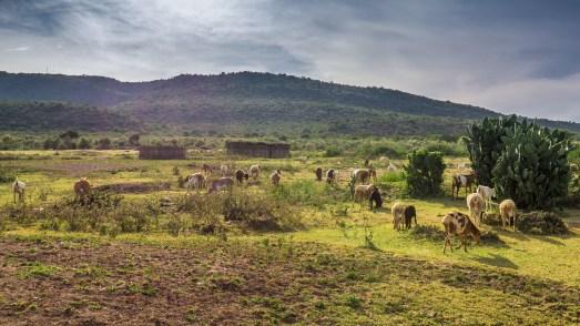 goats on the plains