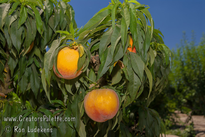 https www creatorspalette com ag horticulture natural dwarf fruit trees peach bonanza peach dwarf