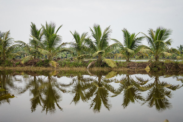 palms reflection on a rice paddy