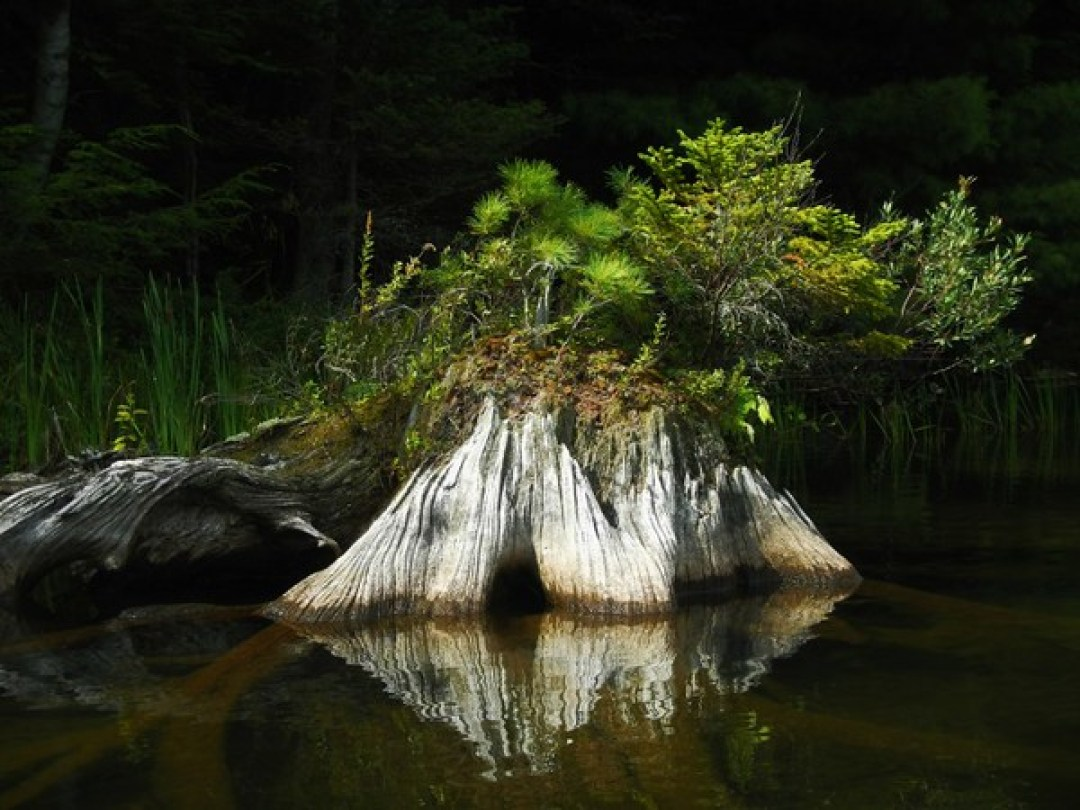 nature's art - stump with its reflection