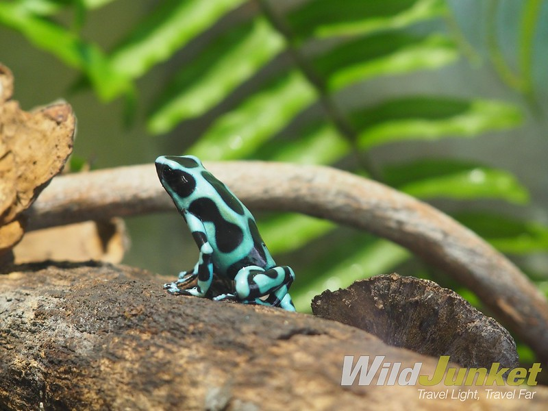 one week costa rica itinerary - black and green dart frog