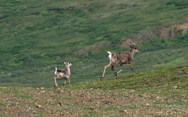 Caribou running across alpine tundra at the top of the Eielson Alpine Trail
