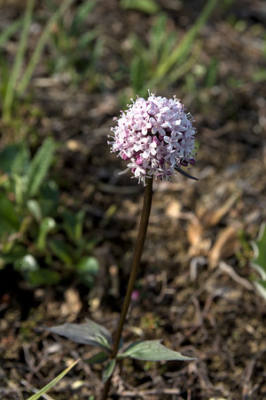 Capitate valerian wildflower in bloom, also known as sharpleaf valerian or Valeriana capitata