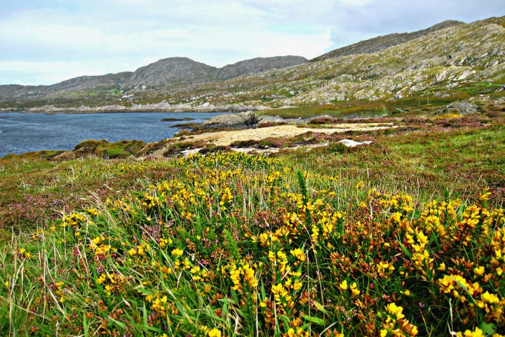 Brilliant Irish Heather and Yellow flowers