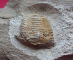 #2089 Ellipsocephalidae spp. (2,4 cm)