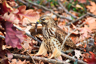 Hawk Catching Prey