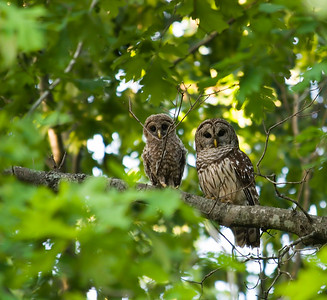 Mother and Baby Barred Owl