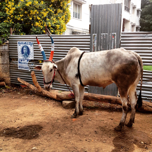Bull with painted horns from India trip