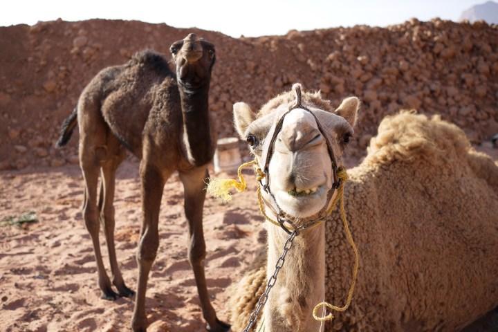 smiling camel in Wadi Feynan camp in Jordan
