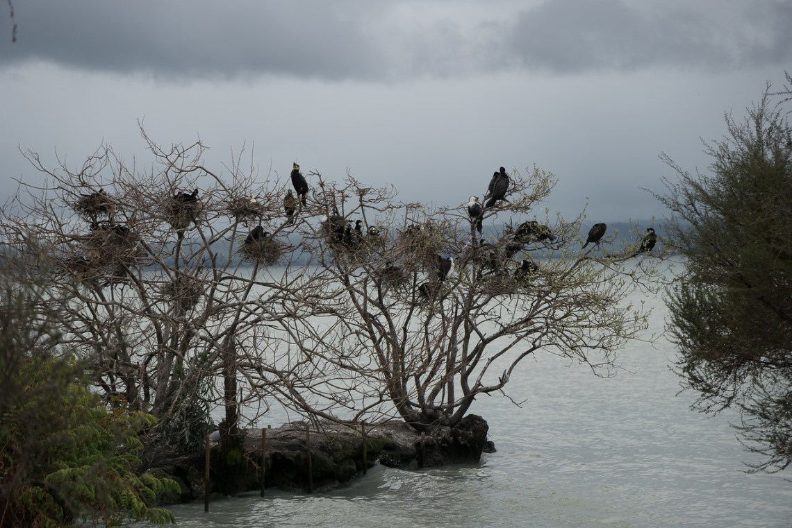 Birds Settle in on Motutara Island, Rotorua