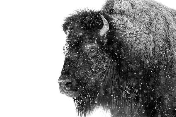 Bison in the sown Colorado