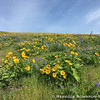 As I climbed higher the balsamroot and lupine just got thicker.