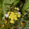 Common Lomatium