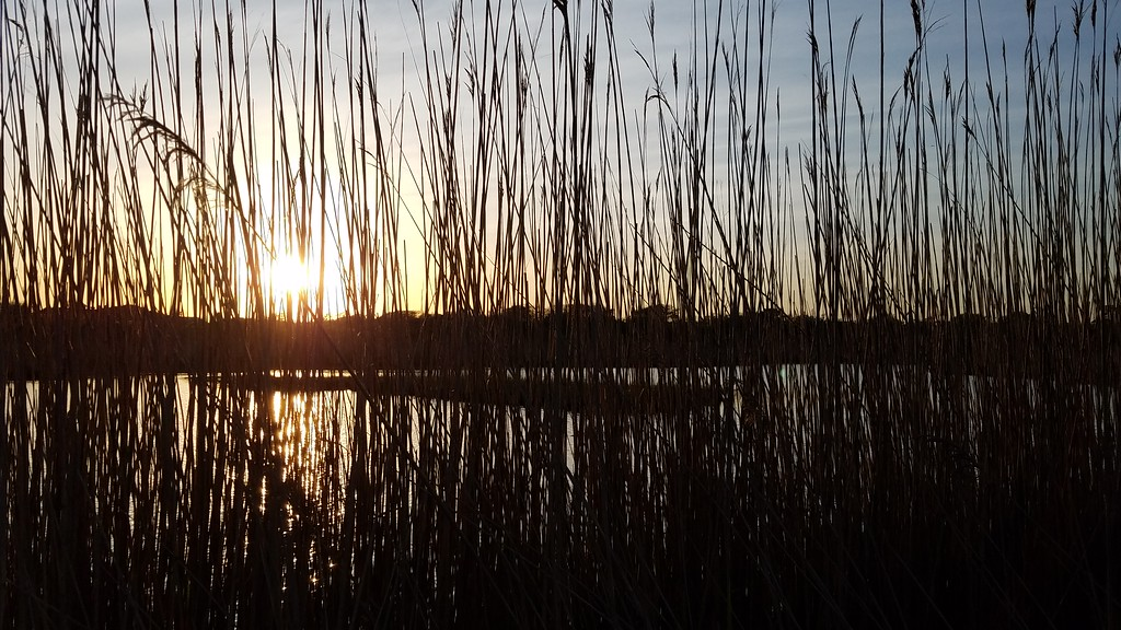 Reeds along inlet for Point Judith