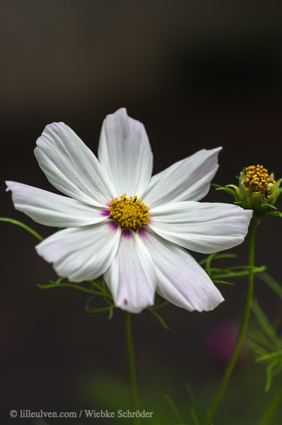 Garden cosmos - Cosmos bipinnatus