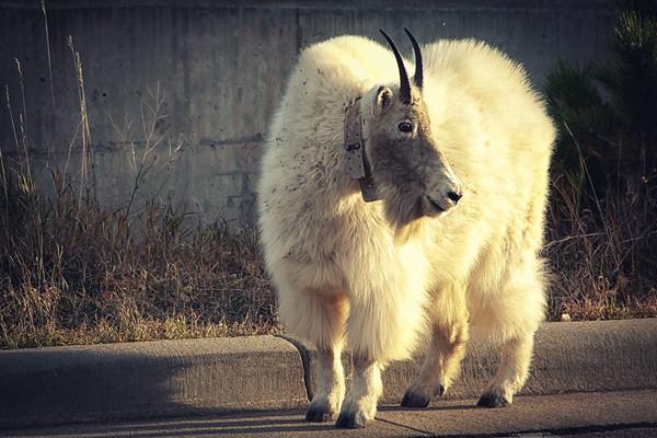 Mountain goat at Rushmore monument park, South Dakota