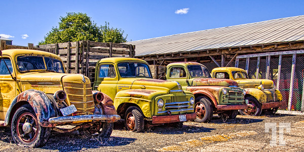 Row of four yellow antique trucks