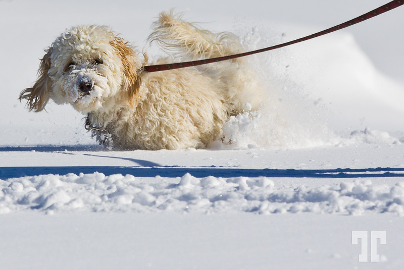 Cute little dog having fun in the snow in Ontario