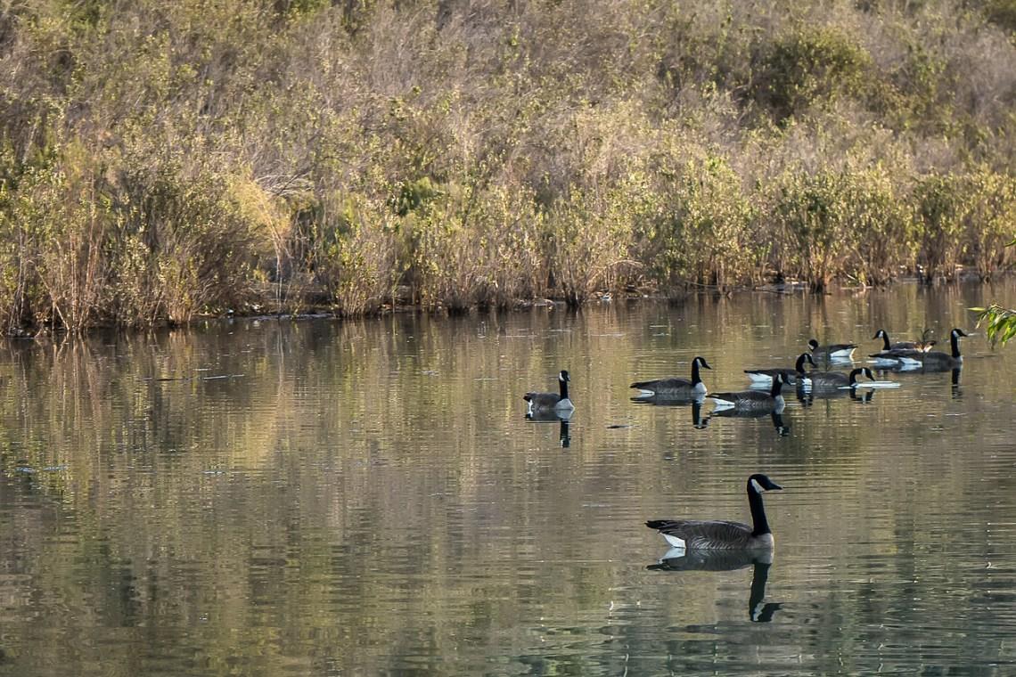 Geese in Cucamonga Basin 6